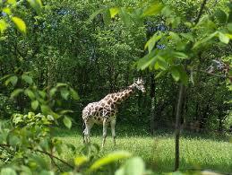 жираф в зоопарке Нью-Йорка